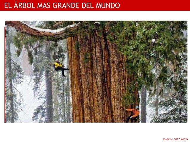 El arbol mas grande del mundo for Arbol mas grande del mundo