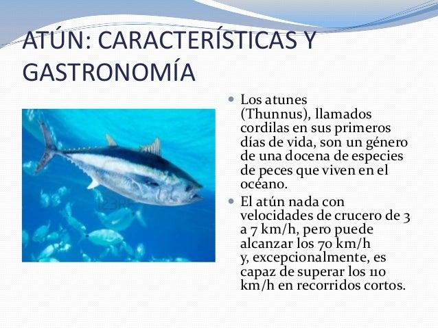 ATÚN: CARACTERÍSTICAS YGASTRONOMÍA Los atunes(Thunnus), llamadoscordilas en sus primerosdías de vida, son un génerode una...
