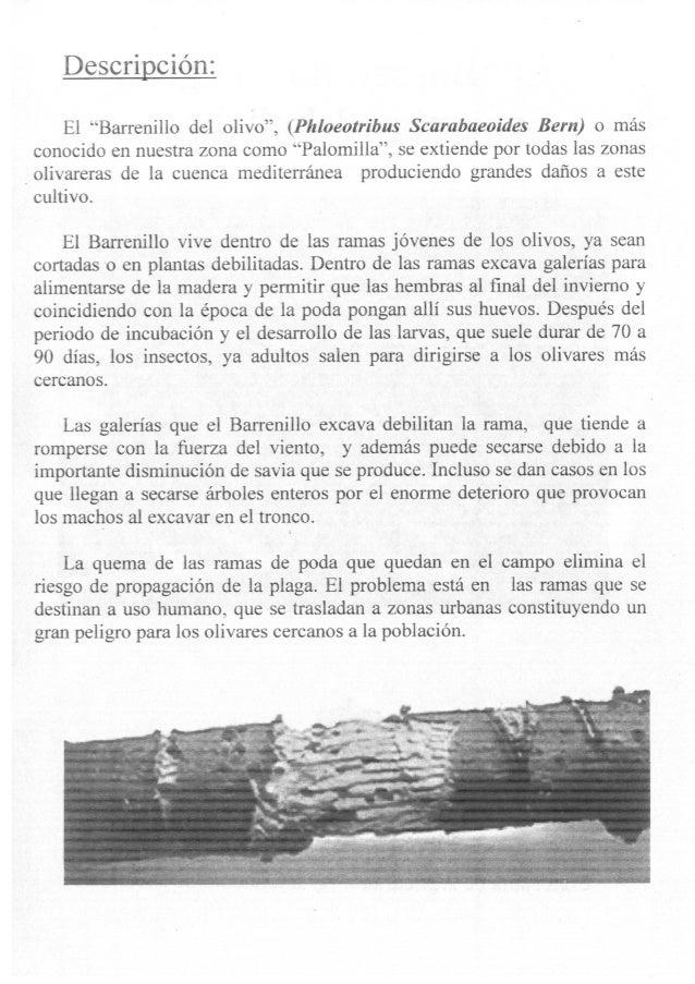 El barrenillo, el gran enemigo del olivar, dossier informativo Escañuela 2013 Slide 2