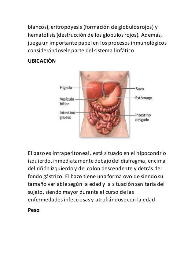 Magnífico Ubicación Del Bazo Imágenes - Anatomía de Las Imágenesdel ...