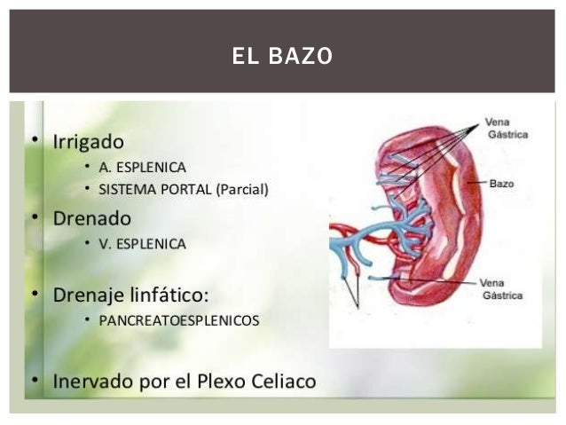 El bazo anatomia