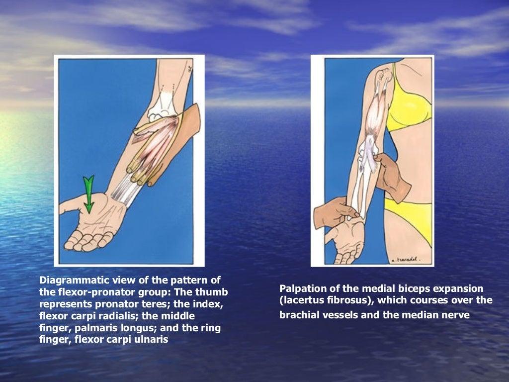 Elbow Anatomy And Examination