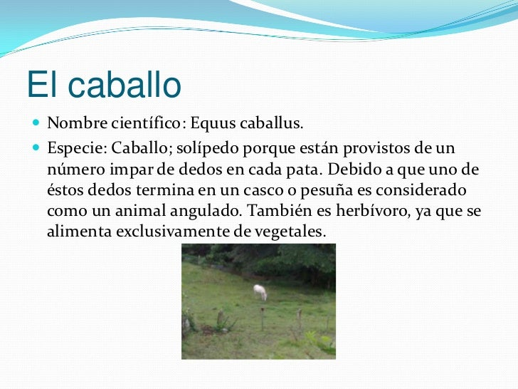 El caballo Nombre científico: Equus caballus. Especie: Caballo; solípedo porque están provistos de un  número impar de d...