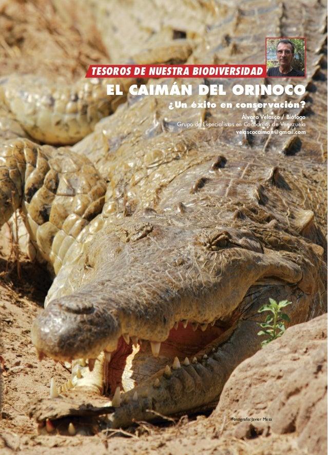 TESOROS DE NUESTRA BIODIVERSIDAD EL CAIMÁN DEL ORINOCO ¿Un éxito en conservación? Álvaro Velasco / Biólogo Grupo de Especi...