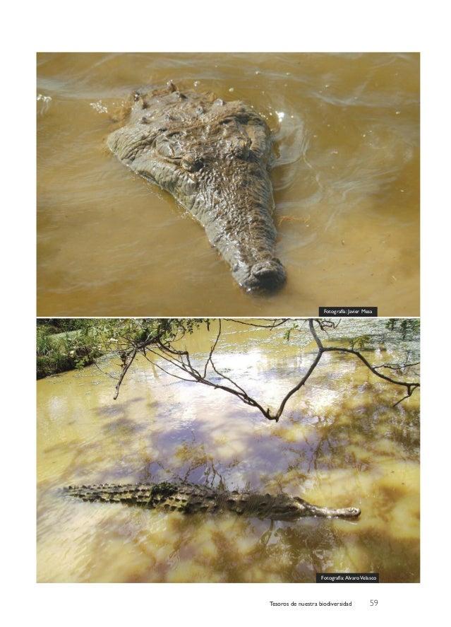 Caimán del Orinoco. ¿Un éxito en conservación?. Álvaro Velasco Slide 3