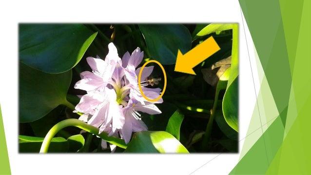 Jacinto de agua reproduccion asexual de las plantas