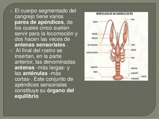 El cangrejo de río enrique