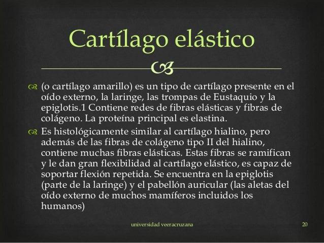   (o cartílago amarillo) es un tipo de cartílago presente en el oído externo, la laringe, las trompas de Eustaquio y la ...