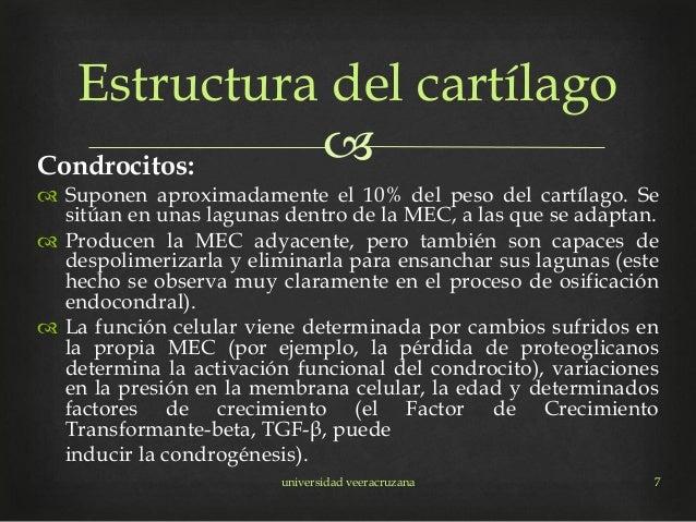Condrocitos:  Suponen aproximadamente el 10% del peso del cartílago. Se sitúan en unas lagunas dentro de la MEC, a las q...