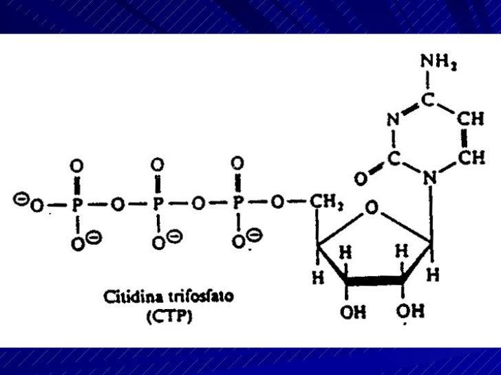 La glucólisis    o ruta de Embden-Meyerhof  Conjunto de reacciones mediante las cuales una molécula de GLUCOSA, se transfo...