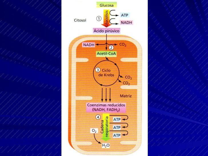 La hipotesis quimiosmótica de Mitchell