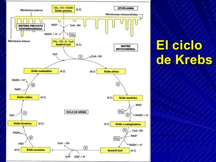 La carnitina: molécula transportadora de los ácidos  grasos al interior de la mitocondria