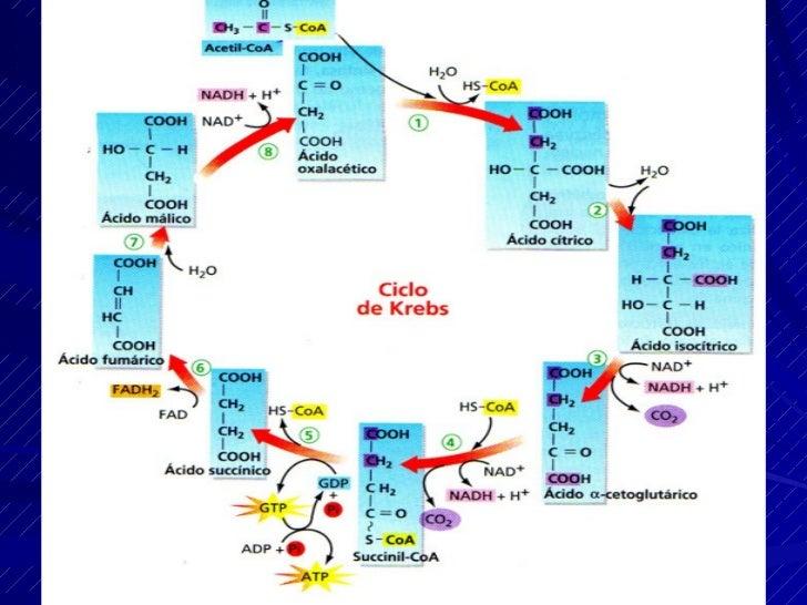 La β-oxidación