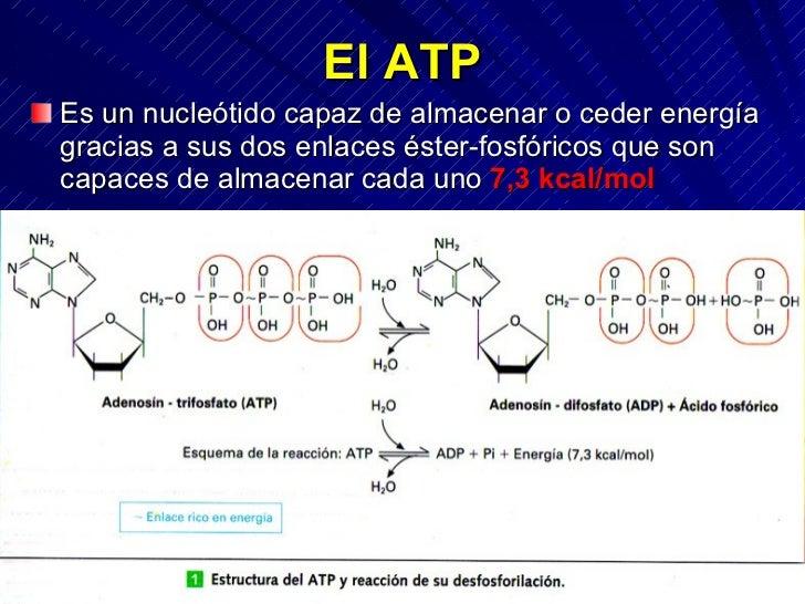 El ATP Es un nucleótido capaz de almacenar o ceder energía gracias a sus dos enlaces éster-fosfóricos que son capaces de a...