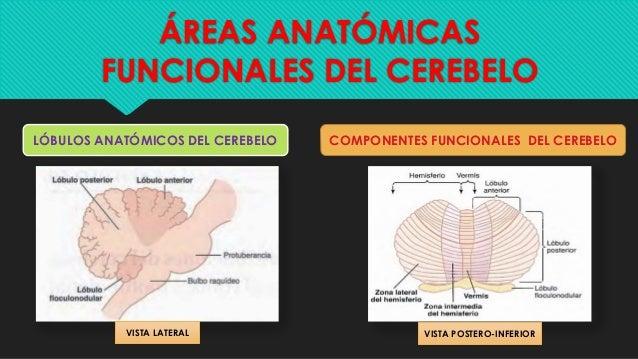 El cerebelo y sus funciones - fisiología