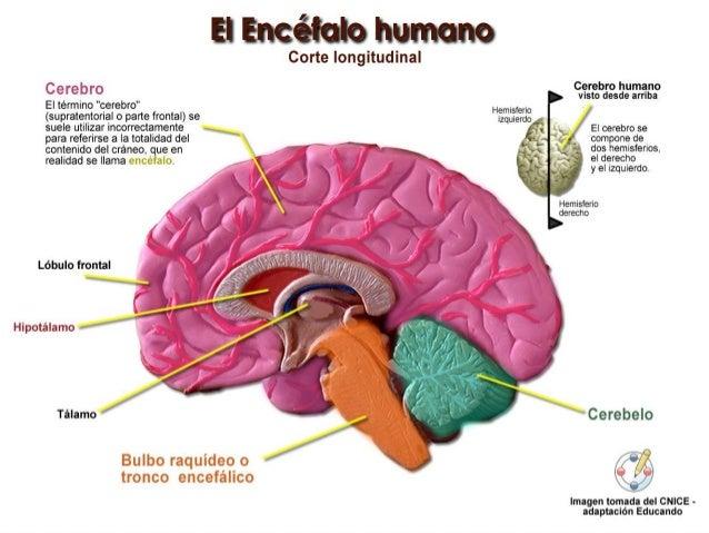 Resultado de imagen para encefalo y sus partes