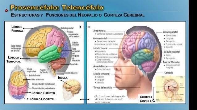 El Cerebro: Evolución, Características, Estructura y Funcionamiento