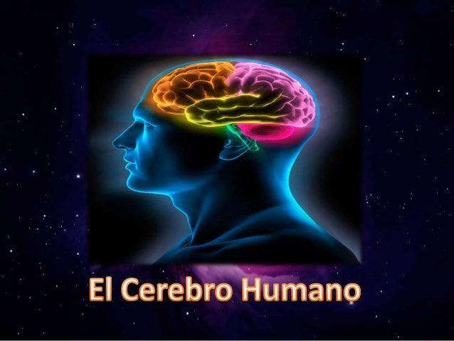 •El cerebro es el órgano mayor del sistema nervioso central y el centro de control para todo el cuerpo •Es responsable de ...