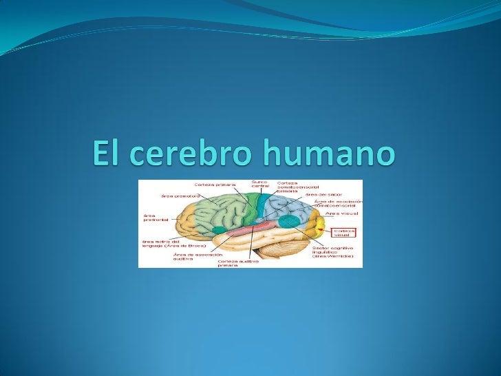 ¿Qué es el cerebro?  El cerebro es un órgano del sistema nervioso rico en   neuronas con funciones especializadas, locali...