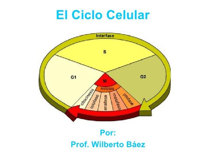 El Ciclo Celular Por: Prof. Wilberto Báez
