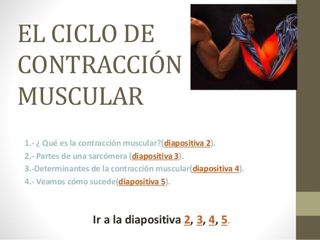 EL CICLO DE CONTRACCIÓN MUSCULAR 1.- ¿ Qué es la contracción muscular?(diapositiva 2). 2.- Partes de una sarcómera (diapos...