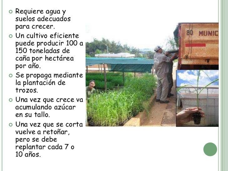 Circuito Productivo De La Caña De Azucar : El circuito productivo de la caña azúcar