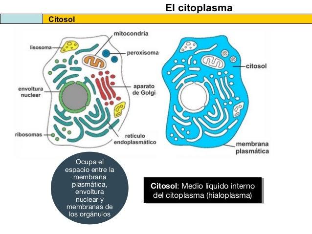 Resultado de imagen de Citoplasma y citosol