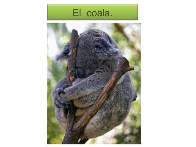El coala.