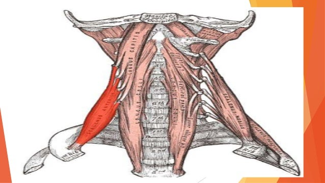 El cuello for Esternohioideo y esternotiroideo