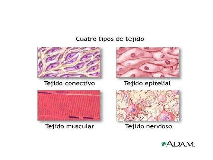 4 main tissues in the human body What are the four main tissue types in the human body and what are their characteristics and functions - 2108632.