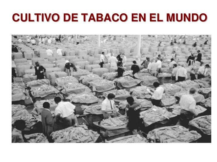 CULTIVO DE TABACO EN EL MUNDO