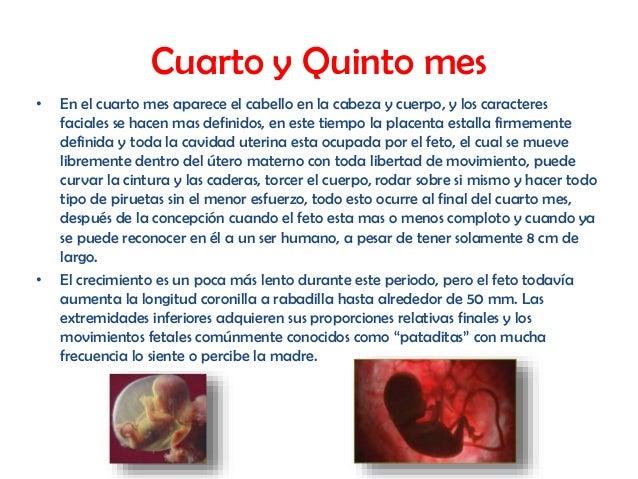 El desarrollo embrionario for Cuarto embarazo