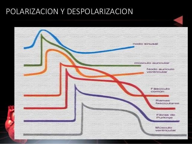 Despolarización ventricular Despolarización auricular Repolarización ventricular