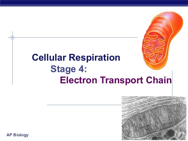 Cellular Respiration                 Stage 4:                   Electron Transport ChainAP Biology                        ...