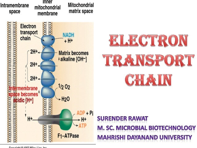 Electron transport chain etc is the transfer of electrons from nadh and fadh2 to oxygen via multiple carriers ccuart