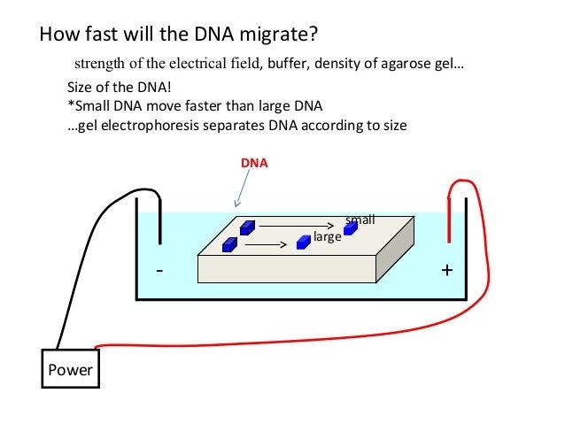 dna gel electrophoresis