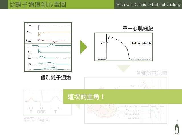 ? Review of Cardiac Electrophysiology從離⼦子通道到⼼心電圖 個別離⼦子通道 單⼀一⼼心肌細胞 各部份電氣圖 體表⼼心電圖 這次的主⾓角!