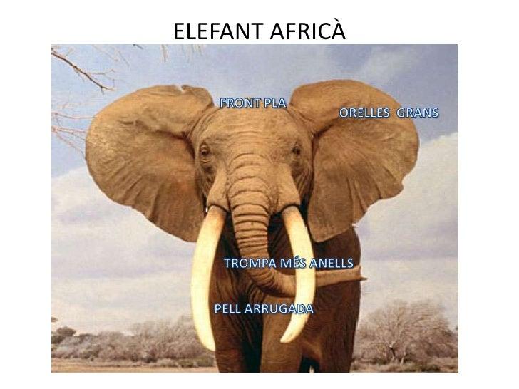 ELEFANT AFRICÀ<br />FRONT PLA<br />ORELLES  GRANS<br />TROMPA MÉS ANELLS<br />PELL ARRUGADA<br />