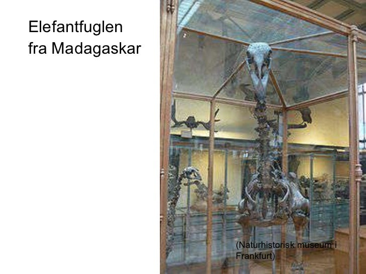 <ul><li>Elefantfuglen </li></ul><ul><li>fra Madagaskar </li></ul><ul><li>(Frankfurt) </li></ul>