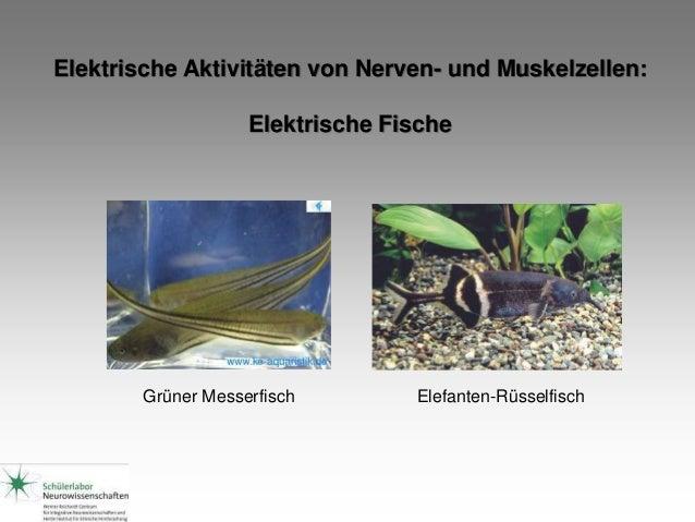 Elektrische Aktivitäten von Nerven- und Muskelzellen: Elektrische Fische Grüner Messerfisch Elefanten-Rüsselfisch