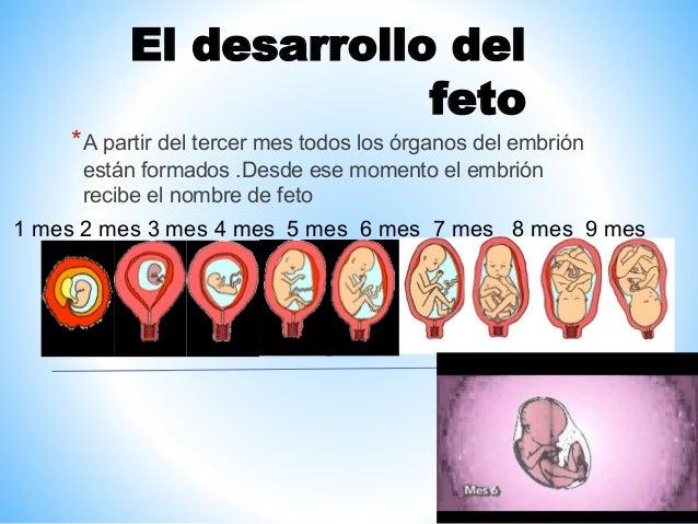 El embarazo y el parto 6a 1 - Feto de 4 meses fotos ...