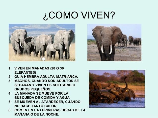 Elena pe a y los elefantes - Como se aparean los elefantes ...