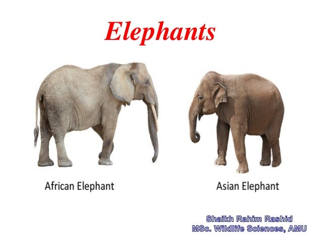 asian elephant ppt