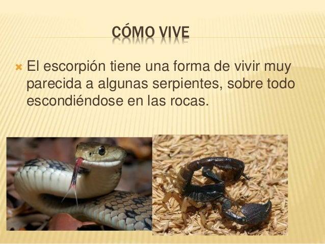 CÓMO VIVE  El escorpión tiene una forma de vivir muy parecida a algunas serpientes, sobre todo escondiéndose en las rocas.