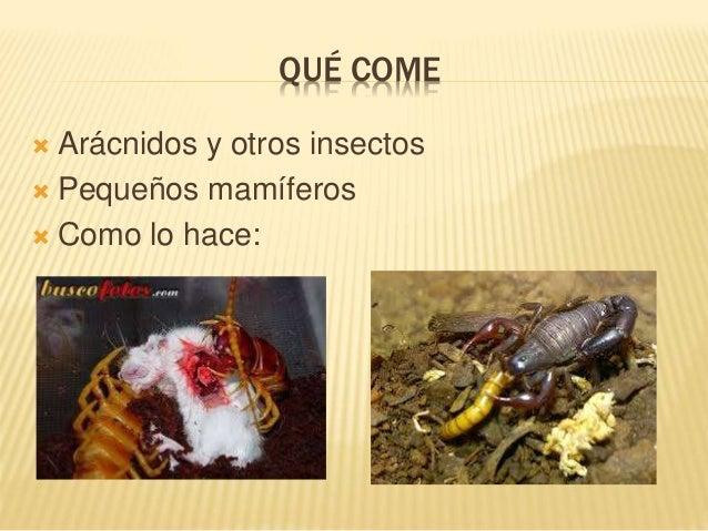 QUÉ COME  Arácnidos y otros insectos  Pequeños mamíferos  Como lo hace: