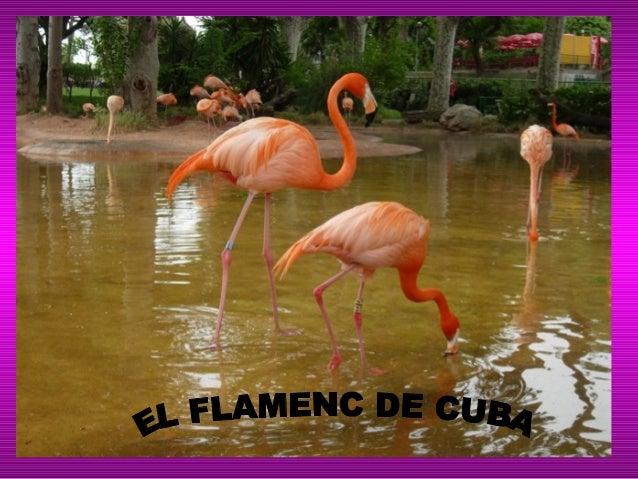 El que ocupa• El flamenc de Cuba ocupa lescostes, maresmes i llacssalobres de les illes Bahames,Cuba, Santo Domingo iGalàp...