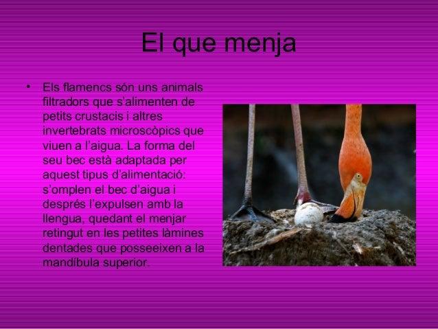 Colònies• Els flamencs de Cuba nidifiquenen colònies nombroses que fan ales vores de l'aigua o fins i tot dinsd'aquesta si...