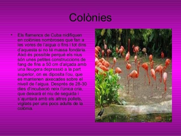 Els problemes• El principal problema al quals'enfronta el flamenc de Cuba ésla creixent destrucció del seuhàbitat. És una ...