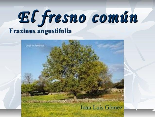 El fresno comúnFraxinus angustifolia                        Joan Luis Gómez