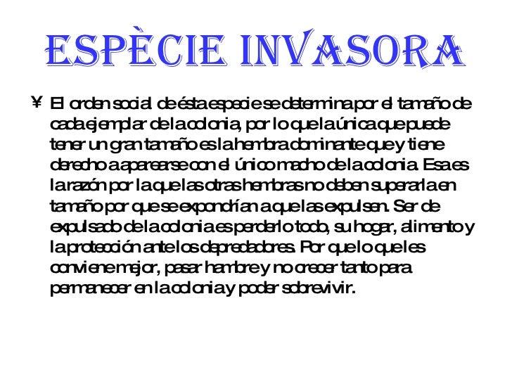 Espècie invasora <ul><li>El orden social de ésta especie se determina por el tamaño de cada ejemplar de la colonia, por lo...